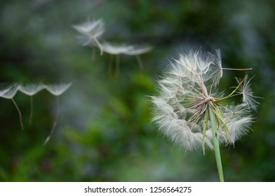 dandelion blowball and flying seeds close up