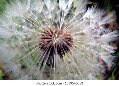 Dandelion blowball. Macro photography dandelion flower. Close up of dandelion blowball.