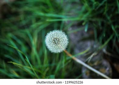Dandelion blowball on green background