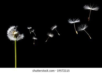 A Dandelion blowing