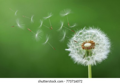 Dandelion blowing seed
