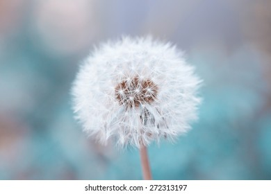dandelion with the blue background