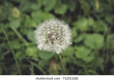 Dandelion at the blurred green leaves background