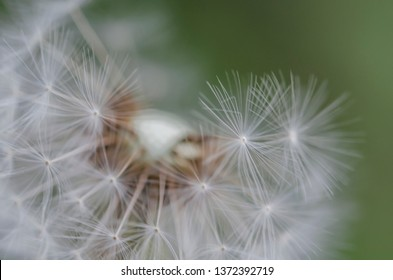 Dandelion, Blurry abstract background .