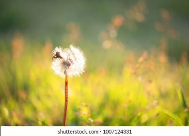 Dandelion clock in morning in warm sunlight