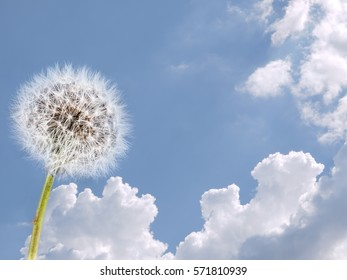 Dandelion clock, seed head over summer sky. Weather, fresh air, clean healthy environment concept.
