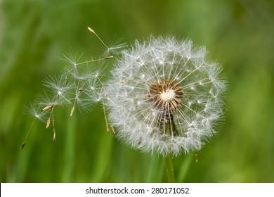 Dandelion clock (Taraxacum officinale) dispersing seeds against a green blurred, natural background