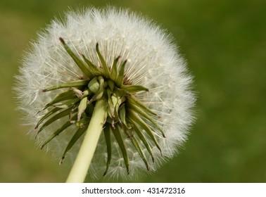 Dandelion (close up of the backside of a dandelion)