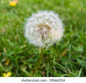 dandelion close up with grass background