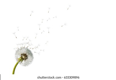 Dandelion. Close up of dandelion spores blowing away,blue sky background,isolated flower