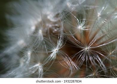 Dandelion close-up. Background image. Nature.