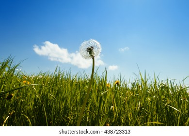 dandelion close-up in meadow with blue sky and clouds