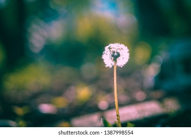 a Dandelion close-up on Nature in Spring against Backdrop of a Garden. A Template for Spring Vacations on Nature.