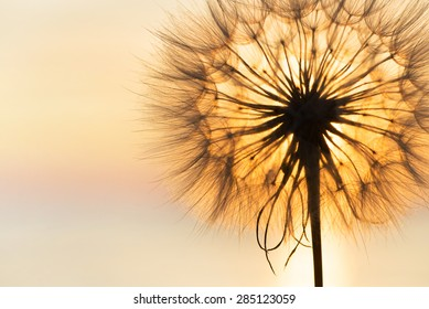 Dandelion close-up silhouette against sunset sky, meditative zen background