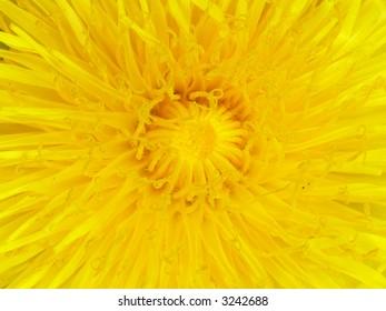 Dandelion core. Close-up
