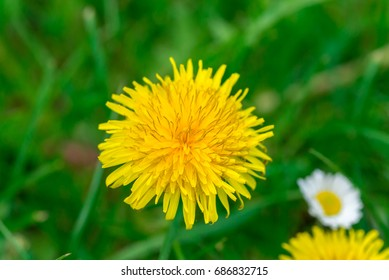 Dandelion and daisy in green grass field