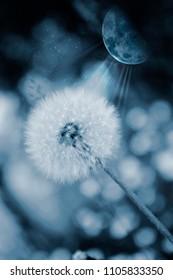 Dandelion in the dark blue wiht moon
