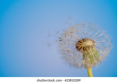 dandelion with dew drops on a blue background