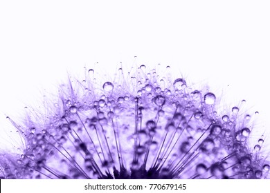 Dandelion in the dew drops on white background, macro. Place for text. Nature and eco concept. Ultra Violet mood of 2018 year.