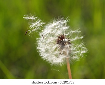 Dandelion disseminates seeds on a wind