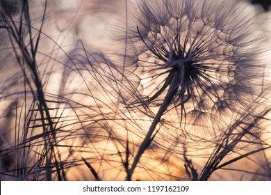 dandelion and feather grass, silhouette on sunset background, abstract background.