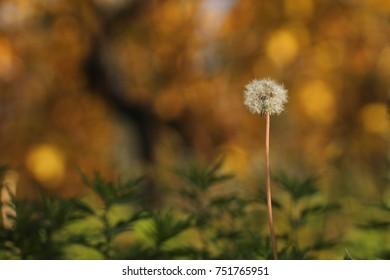 A dandelion in a field.