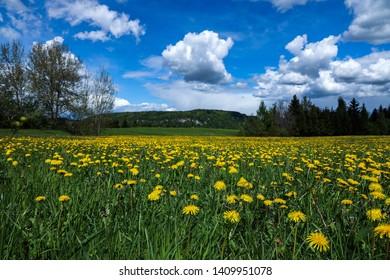 Dandelion field Carinthia Austria - Image