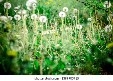 dandelion field full of white fluffy flowers that cause allergies