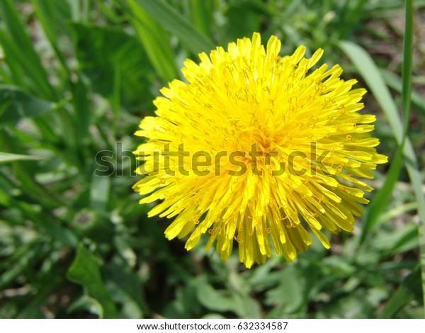 Dandelion in a field of green grass
