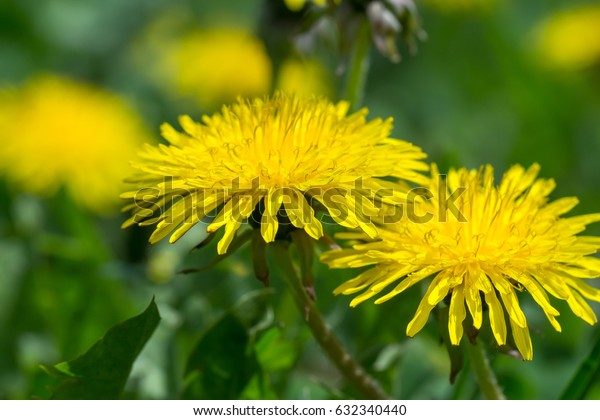 dandelion  field of green grass a blurred background