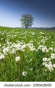 Dandelion field with green  grass and isolated tree; Poland spring rural landscape