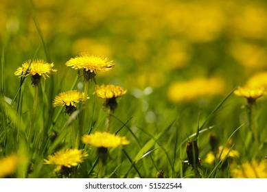Dandelion field. Shallow deep of field.