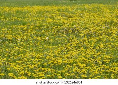 Dandelion field in spring