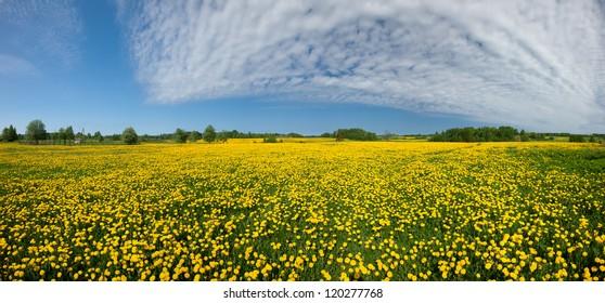 Dandelion field, spring ir yellow meadows