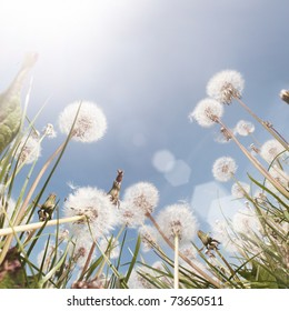 A Dandelion field in the summer. Low angle shot.