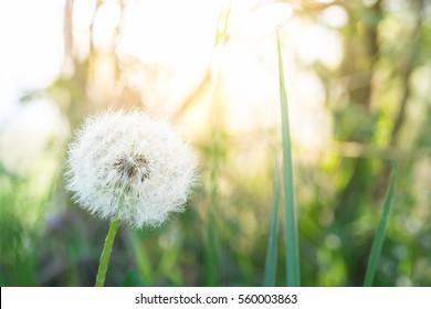 Dandelion flower, background concept