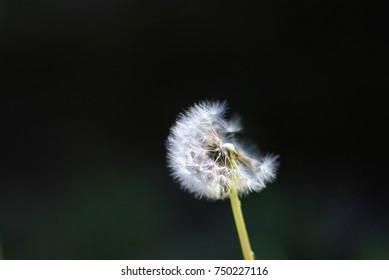 Dandelion Flower Background - Wonders in Nature - Damage of Survival