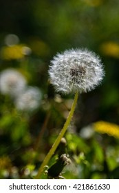 Dandelion flower ball closeup