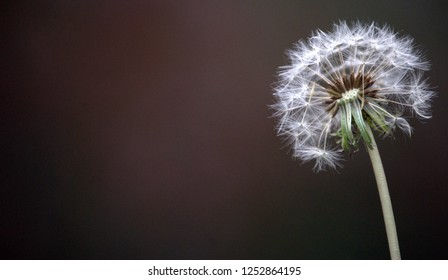 Dandelion flower capture