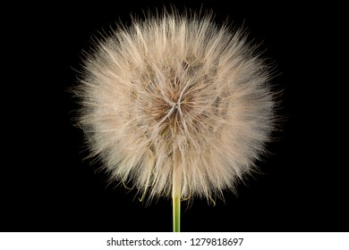dandelion flower closeup head isolated on black background