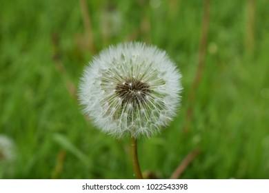 Dandelion Flower in a field