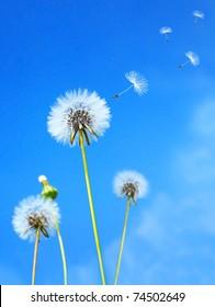 Dandelion flower field over blue sky