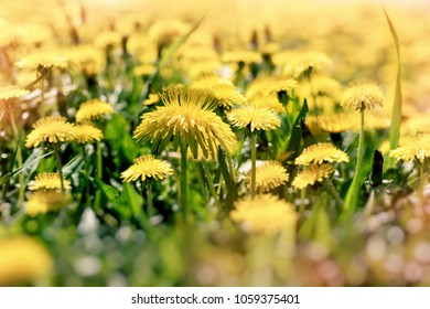 Dandelion flower, flowering dandelion flowers in meadow - beautiful nature in spring