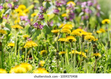 Dandelion flower, flowering wild flowers in meadow - beautiful nature in springtime