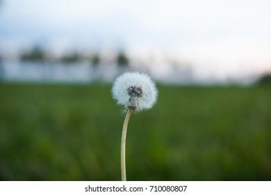 Dandelion flower in the grass