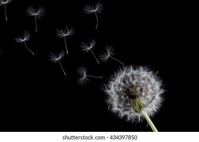 Dandelion flower isolated on black background