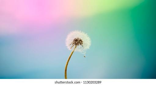 dandelion flower in nature, color background