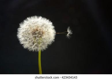 Dandelion flower on a black background in close-up