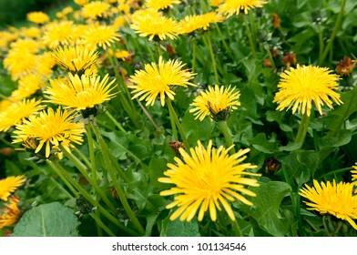 Dandelion flower on green grass
