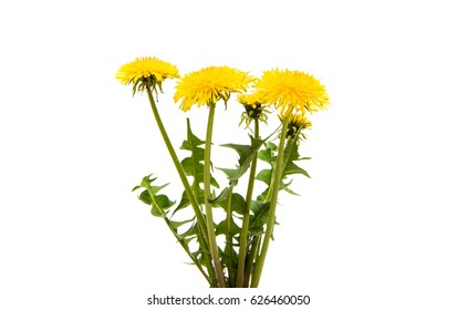 Dandelion flower on a white background